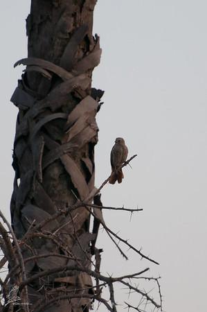 Weaver, Rufous-tailed