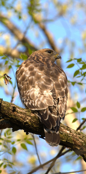 Red Shouldered Hawk - Back View in Spring C5685