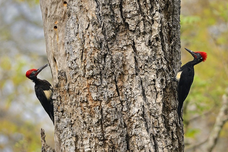 White bellied Woodpeckers