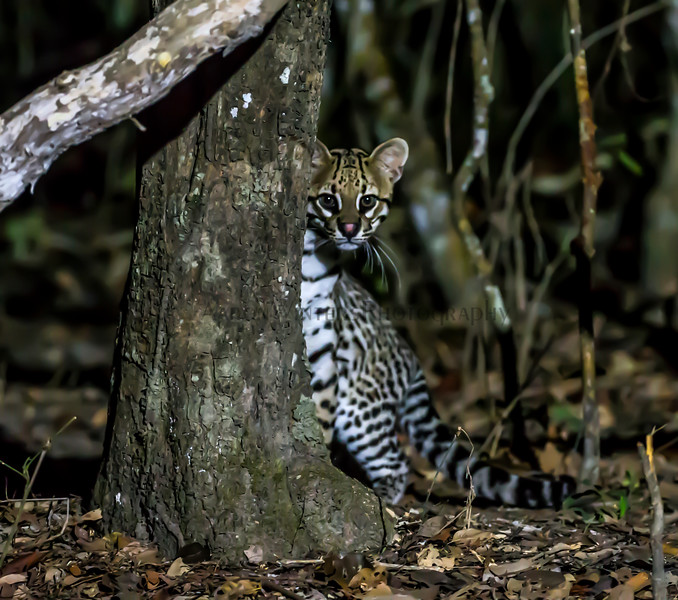 Ocelot More Or Less