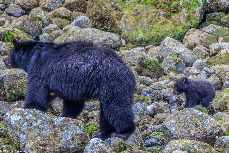 Black Bears on the Beach