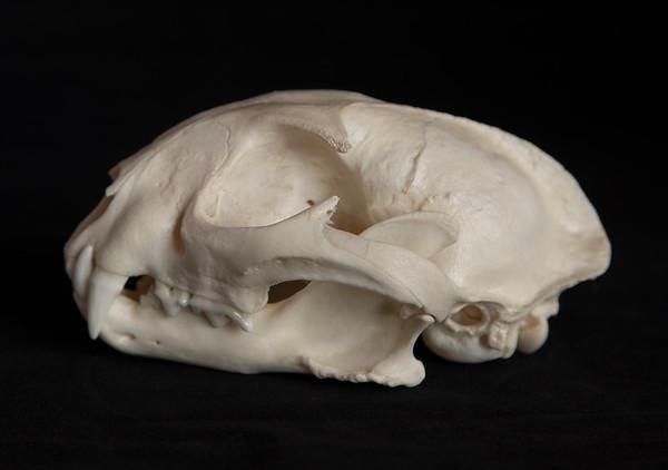 Caracal Male (Caracal caracal) Felidae