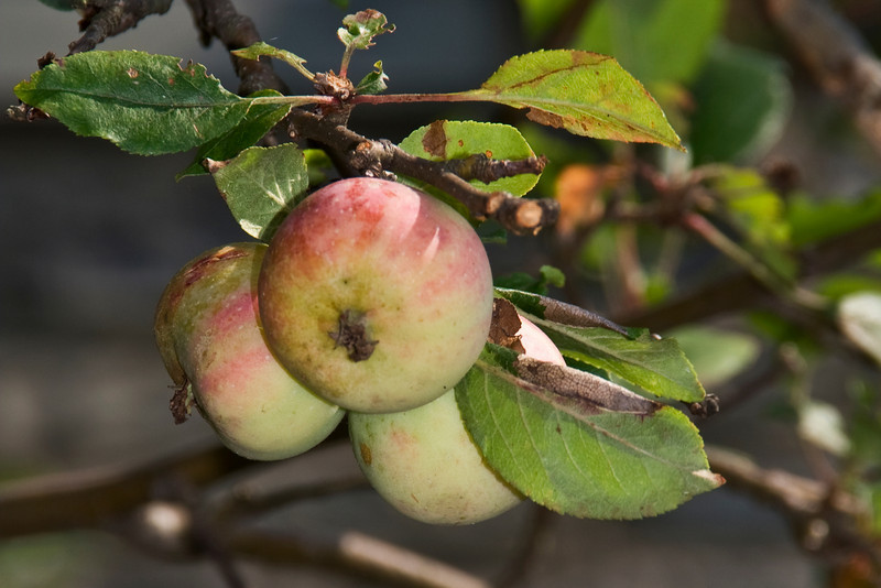 Ripe APples.jpg