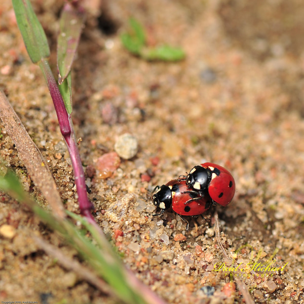Lady bugs in love!  Maybe they're just playing horsey back!