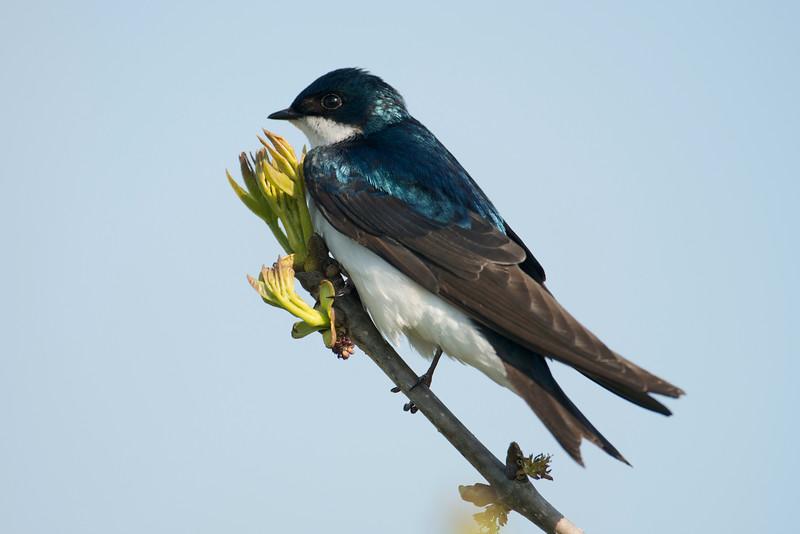 TreeSwallow_4854.jpg