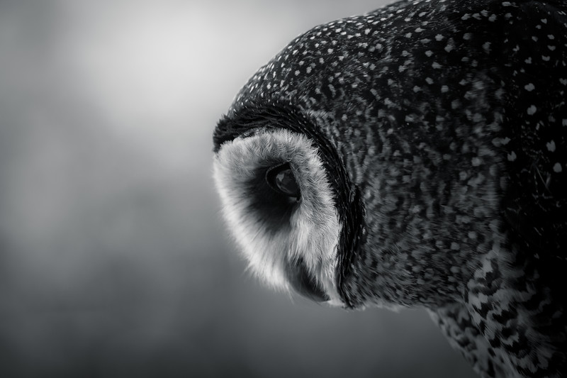 Sooty owl, Australia