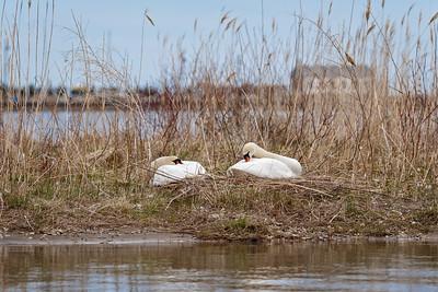 Nesting Swans 2014 - Nine Weeks