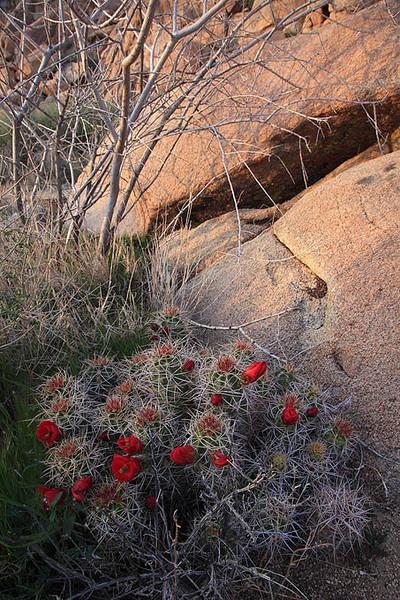 Mojave Mound Cacti Joshua Tree
