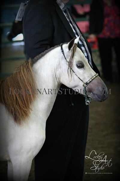 NorCal Miniature Horse Show June 2016