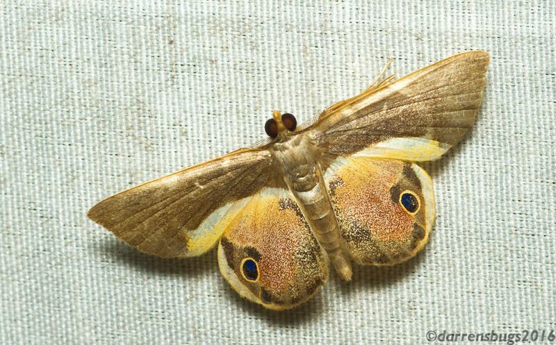 One does not see eyespots on geometer moths very often. (Opisthoxia sp., from Panama)