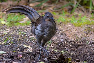 Lyrebirds, Pittas