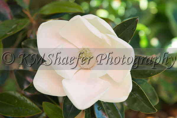 2013 Sweet Magnolias