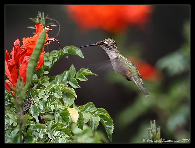 Anna's Hummingbird, Bird & Butterfly Garden, San Diego County, California, July 2009