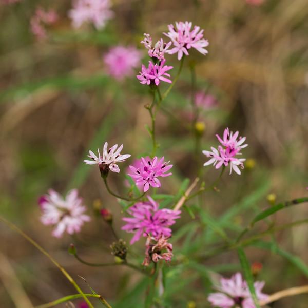 Macro shot of little pink flowers in Glenlake