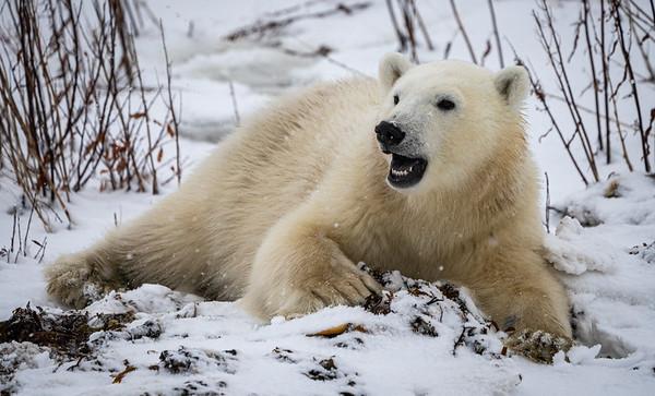 The Polar Bears of Churchill, Manitoba, Canada