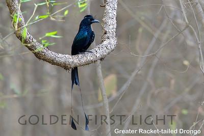 Greater Racket-tailed Drongo, Todoba, India