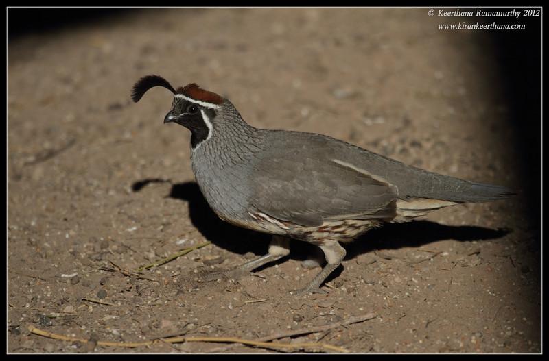 Gambel's Quail Male, Salton Sea, Imperial County, California, November 2012