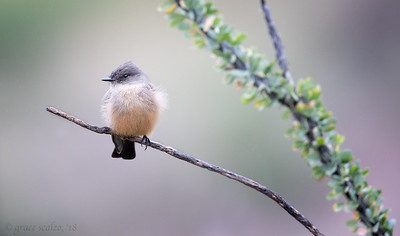 Say's Phoebes