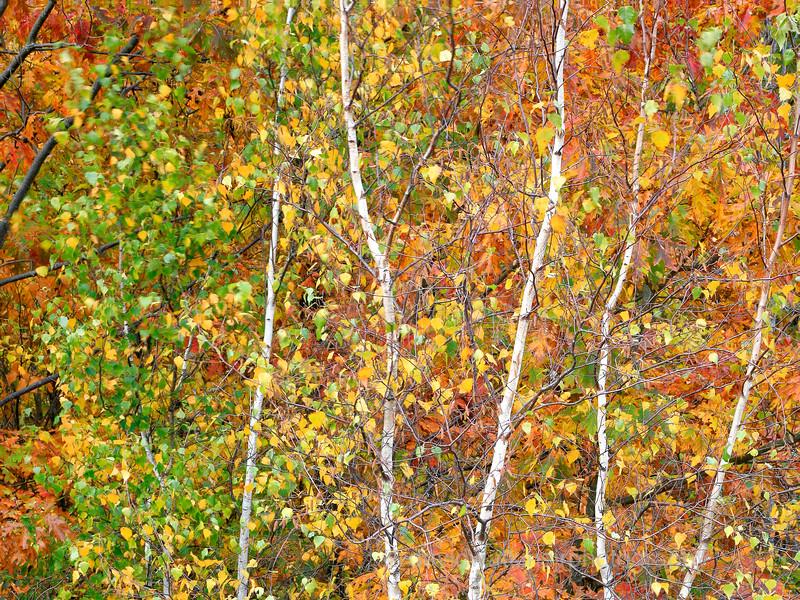 Fall Aspens,Acadia.jpg