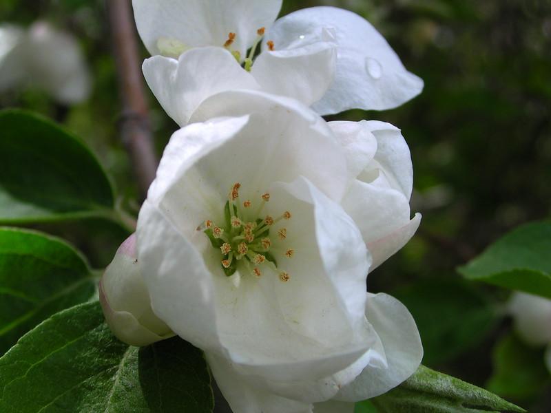 white bloom54.JPG