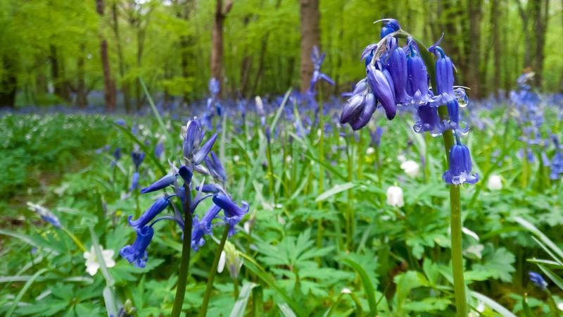 bluebellwoods-7.jpg