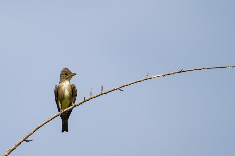 Olive-sided Flycatcher - Tucson, AZ, USA