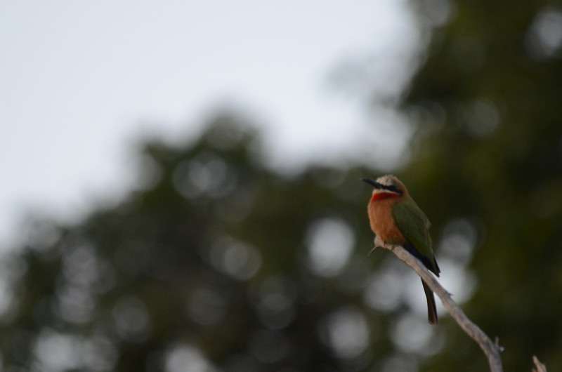 109 - White-fronted Beeeater - Zambia - Anne Davis