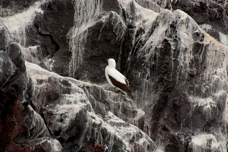Nazca Booby on the Rocks