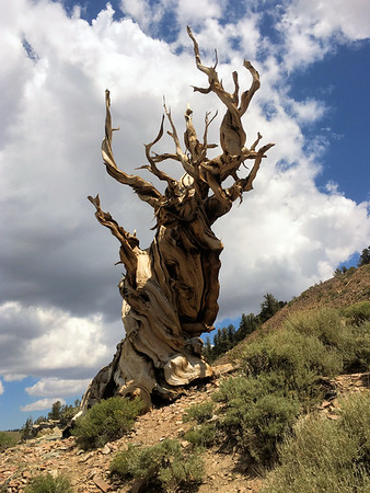 Ancient Bristlecone Pines, Discovery Trail
