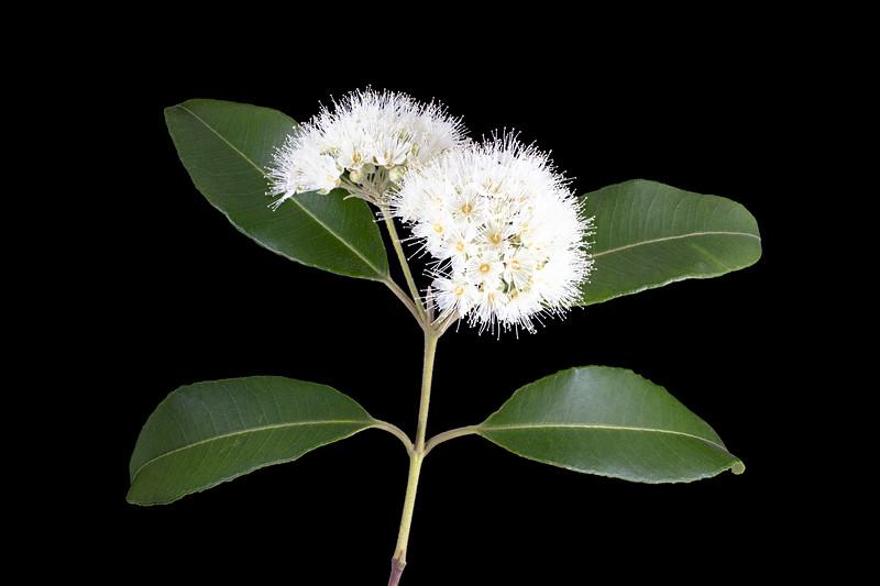 lemon myrtle blossoms 8p.jpg