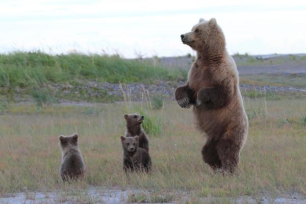 Brown Bear Mother and Cubs Alaska 2012