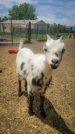 2016-06-Goats