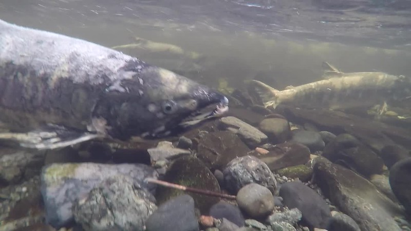 Salmon Spawning in Goldstream River