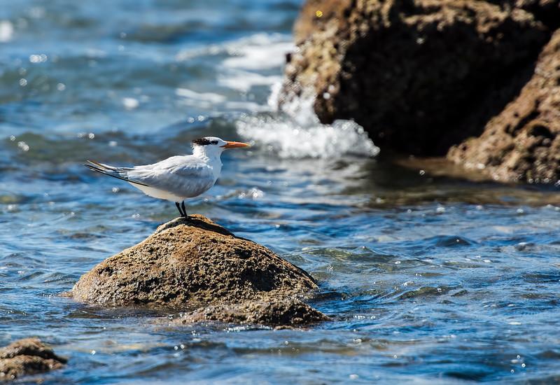 royal tern.jpg