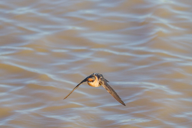 Swallows, Swifts and Martins