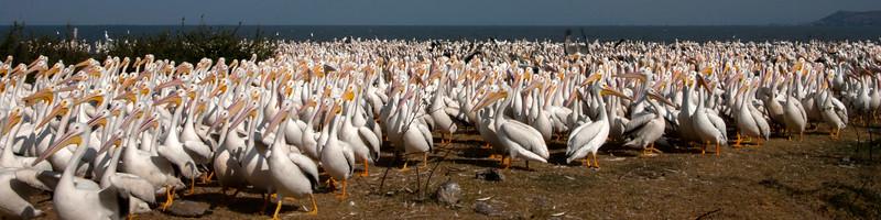 Pelícano borregón - white pelican