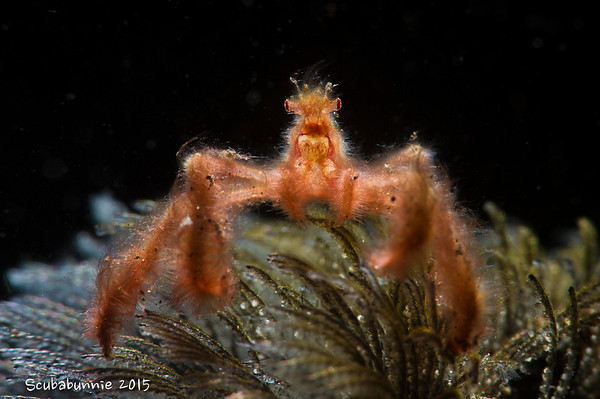 Bali - Orangutan Crab (2015)