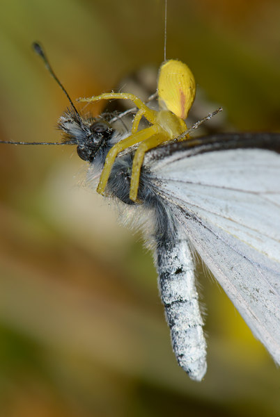 I was taking a picture of this Pine White butterfly when it started acting strange, the Crab Spider had it and with it it powerful venom it was over in seconds.