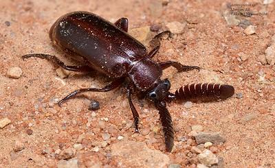 Arthropterus (Paussinae)  - Ant Nest Beetle