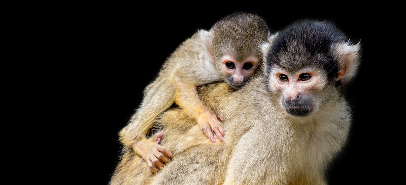 Squirrel monkey piggyback her young