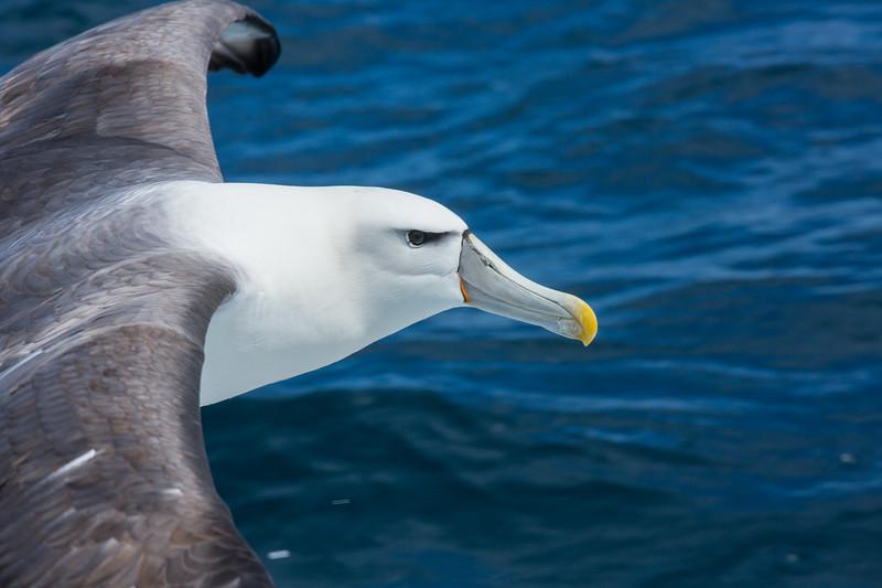 White-capped Mollymawk (Thalassarche cauta steadi)