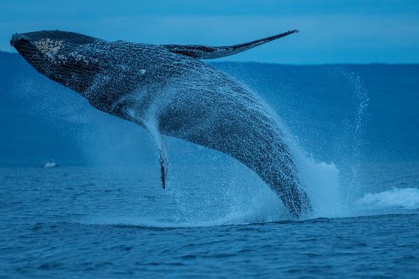 Maui's Humpback Whale Migration 2018