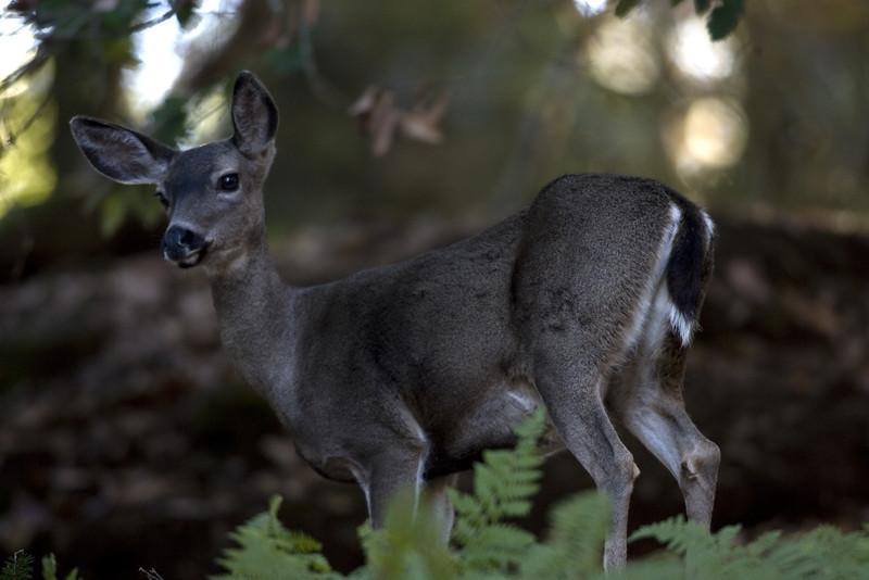 Blacktailed deer, Point Reyes, 10.14.07