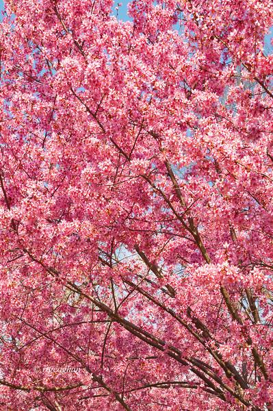 April 10_Branch Brook Cherry Blossoms_7529.jpg