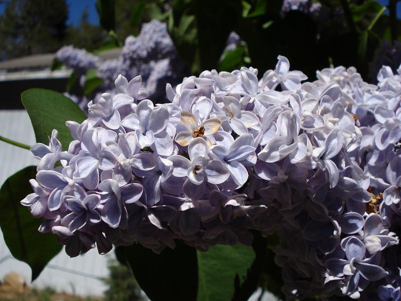 Lilacs 06-12-08
