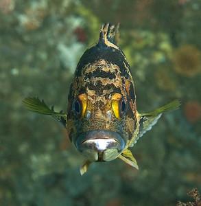 Rockfish, Scorpionfish, Treefish