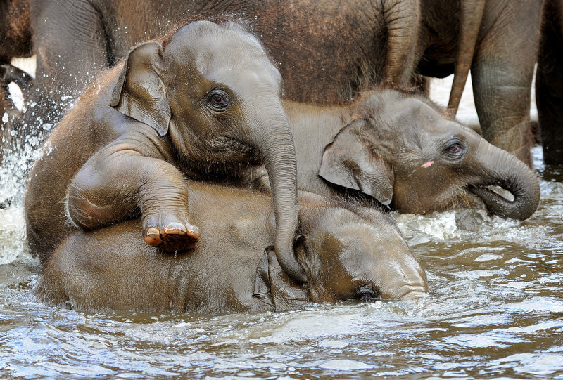 Description of . Asian elephants take a bath in a pool at the zoo in Hanover, northern Germany, on April 27, 2012. Five baby elephants are raised in the zoo Hanover.    HOLGER HOLLEMANN/AFP/GettyImages
