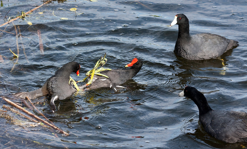 common moorhen fight with american coot referees