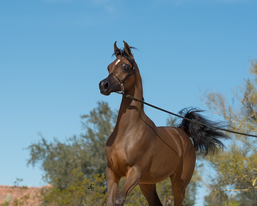 Dana Arabians