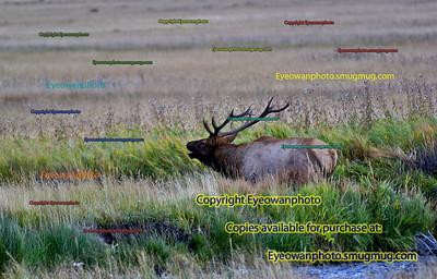 Deer/Moose/Elk/Buffalo/Antelope